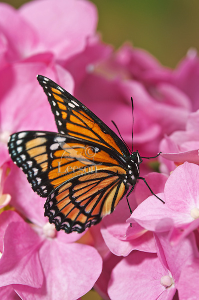 Viceroy (Limenitis archippus) butterfly on Pink Hydrangea (Hydrangea macrophylla) flowers, summer, North America.