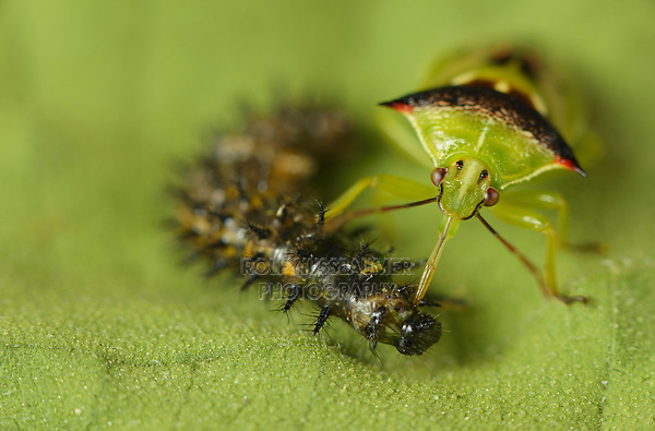 Predatory Stink Bug (Tylospilus acutissimus), adult feeding on Bordered Patch (Chlosyne lacinia) caterpillar, Hill Country, Central Texas, USA