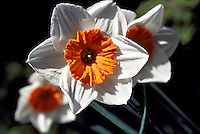 White Daffodils / Daffodil (Narcissus) in bloom, Spring Flowers blooming in Flower Garden