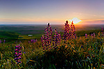 Lupine at sunset on the Palouse in Spring.