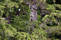 Bald Eagle, Cordova, Chugach National Forest, Alaska.