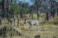 Africa, Botswana, Okavango Delta, Khwai private reserve. Zebra,
