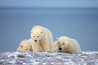 polar bear, Ursus maritimus, mother with cub resting along the Arctic coast, 1002 area of the Arctic National Wildlife Refuge, Alaska, polar bear, Ursus maritimus