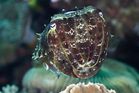 Broadclub cuttlefish, Sepia latimanus, Lembeh Straight, Sulawesi, Indonesia, Pacific Ocean