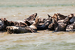 Gray Seals hauled out on the Chatham Bars, Cape Cod.  Close-up of 2 seals side view displaying typical arched back.