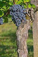 Petit Verdot grape bunches and vines - a very old vine - Chateau de la Tour (or Clos de La Tour), Bordeaux, now Pey la Tour