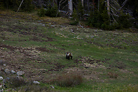 A grizzly bear is pictured along the East Entrance Road in Yellowstone National Park, Wyoming on Monday, May 22, 2017. (Photo by James Brosher)