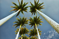 Looking up through palm trees. Hawaii, The Big Island