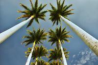 Looking up through palm trees. Hawaii, The Big Island
