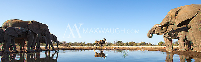 Elephants often travel in family herds led by a matriarch.  This herd arrived just as this eland was trying to get a drink.