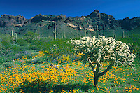 Mexican goldpoppy and chainfruit cholla<br /> Ajo Mountain Drive,  Ajo Range<br /> Organ Pipe Cactus National Monument<br /> Sonoran Desert,  Arizona