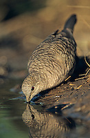 Inca Dove, Columbina inca,adult drinking, Lake Corpus Christi, Texas, USA