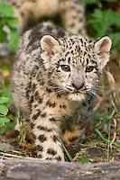 Snow Leopard kitten walking - CA