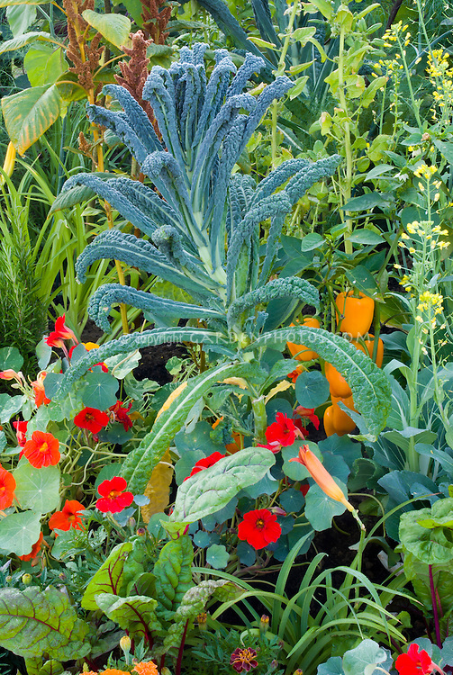 Dinosaur Kale Lacinato with Tropaeolum nasturtiums edible flowers, peppers in vegetable and flower garden mixture 40200 aka Cavalo Nero kale