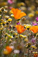 Eschscholzia californica (California poppy) and Layia platyglossa Tidy Tips, California native wildflowers,  flowering in pollinator garden at Los Angeles Natural History Museum