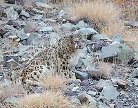 The Snow Leopards of Ladakh