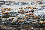 Sea Lions, Isla de los Lobos, Beagle Channel, Tierra Del Fuego National Park