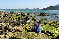 Seaweed, Ulva pertusa Kjellman, Amami-ohsima island, Kagoshima, Japan, Pacific Ocean