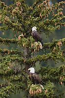 Bald Eagle (Haliaeetus leucocephalus), pair sitting in tree, Yellowstone River, Yellowstone National Park, Wyoming, USA