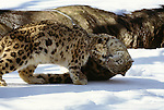 Young snow leopards play and practice skills they will need as adults, Asia