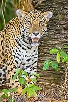 Jaguar (Panthera Onca), animal portrait, Matto Grosso do Sul, Pantanal, Brazil, South America