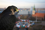 Wanderfalke (cc) (Falco peregrinus), Beizvogel, Weibchen, Porträt mit Marienkirche im Hintergrund, Alexanderplatz, Berlin-Mitte, Deutschland. Peregrine falcon (cc), falconer's bird, female, portrait with Marienkirche in the background, Alexanderplatz, Berlin, Germany.