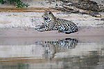 Male jaguar (Panthera onca) resting on a sand bank with reflection in the water. Cuiaba River, Northern Pantanal, Mato Grosso, Brazil.