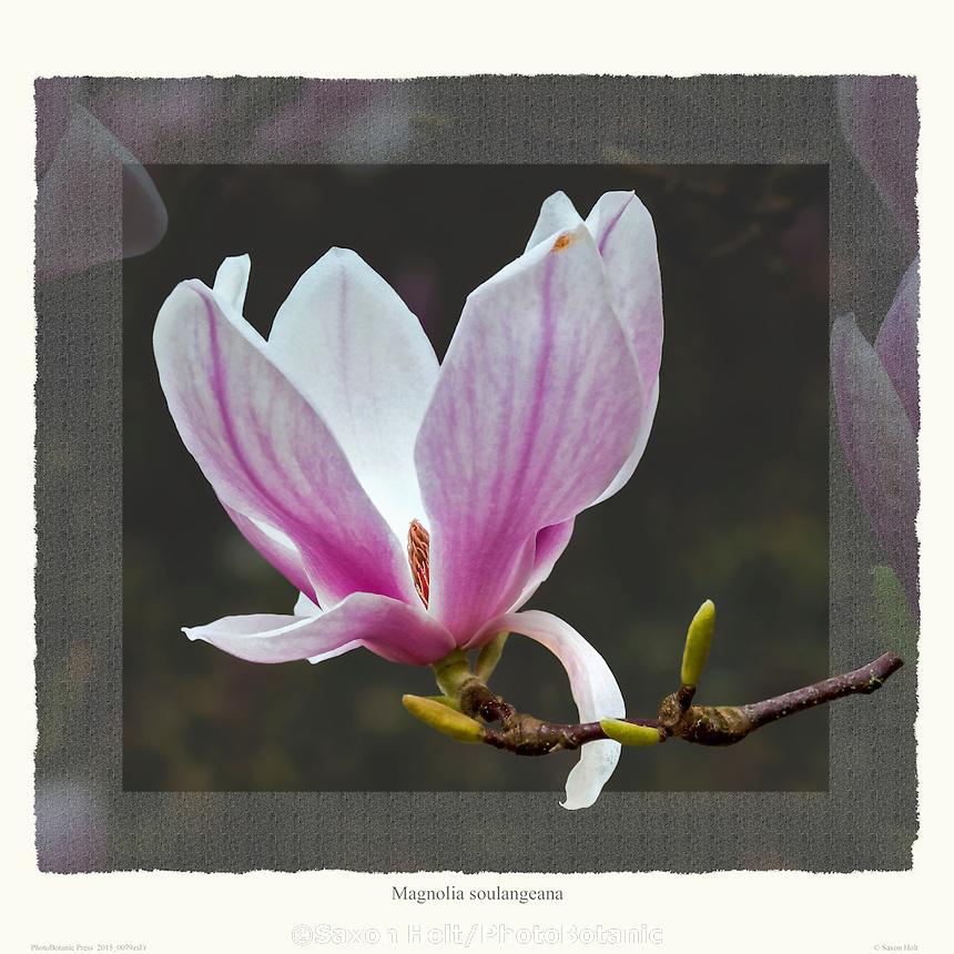 PhotoBotanic Extraction - Magnolia soulangiana flowers unfolding on deciduous tree in California garden