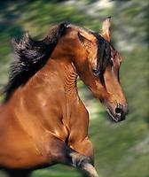 Arabian stallion runs with attitude.