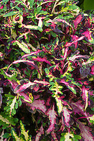 Solenostemon (Coleus) 'Laing's Croton annual foliage plant with lobed ornamental leaves in splashed mottled shades of green and yellow and pink red'