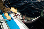 A small shark is cut loose from the hook meant for Tuna
