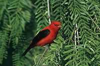 Scarlet Tanager, Piranga olivacea,male,South Padre Island, Texas, USA