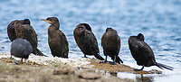 A group of Neotropic Cormorants, Phalacrocorax brasilianus, stands on the shore of Patagonia Lake in Patagonia Lake State Park, Arizona