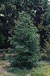 10654-CD Coast Redwood, Sequoia sempervirens `Aptos Blue', at Rancho Santa Ana Bot. Garden, Claremont, CA