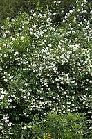 Falscher Jasmin, Gewöhnlicher Pfeifenstrauch, Pfeifenstrauch, Philadelphus coronarius, Sweet Mock Orange, Seringat des jardins