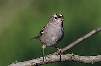 White-crowned Sparrow, Zonotrichia leucophrys, immature, Welder Wildlife Refuge, Sinton, Texas, USA, April 2005