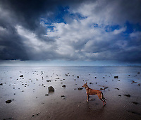 At the end of a rocky road: Isabella, a rescue dog, looks out at the coastline along Maunalua Bay, Southeast O'ahu.