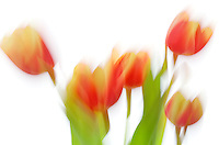 Impressionistic shot of tulips.