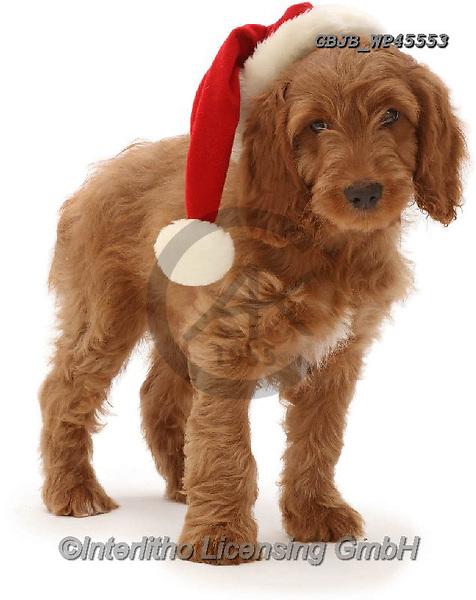 Kim, CHRISTMAS ANIMALS, WEIHNACHTEN TIERE, NAVIDAD ANIMALES, photos+++++,GBJBWP45553,#xa#