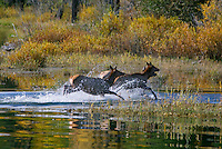 Rocky Mountain Cow Elk (Cervus elaphus) splashing through shallows.  Rocky Mountain area.  Fall.