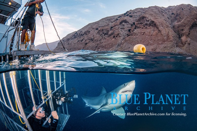 great white shark, Carcharodon carcharias, next to a shark cage with hookah divers, Guadalupe Island, Mexico, Pacific Ocean