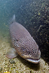 Brown trout sitting on sand bottom near submerged log, vertical