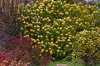 Leucospermum cordifolium 'Veldt Fire' 'Veldfire', flowering South African shrub UC Santa Cruz Arboretum & Botanic Garden