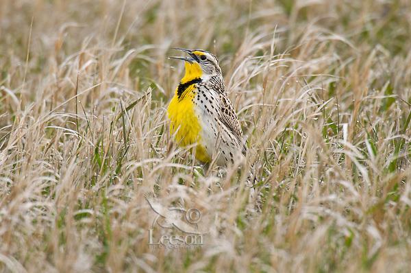 Western Meadowlark (Sturnella neglecta) singing. Western U.S., spring.