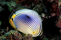 redfin butterflyfish, Chaetodon trifasciatus, night coloration, Helengeli, Maldives (Indian Ocean)