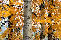 Aspen leaves in the Fall.