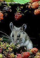 MU50-122z  Deer Mouse - young adult eating blackberries - Peromyscus maniculatus