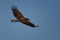 Immature Bald Eagle in flight, San Angelo, Texas