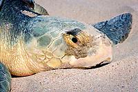 nesting Kemp's ridley sea turtle, Lepidochelys kempii (endangered), close-up of head, Rancho Nuevo, Mexico (Gulf of Mexico), Atlantic Ocean