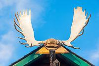 moose, or elk, Alces alces, adult, male, antler, buildig decoration, Pioneer Park, Fairbanks, Alaska, USA